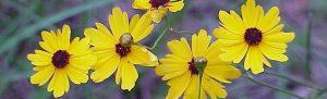 Coreopsis leavenworthii (Leavenworth's tickseed) and sweat bee Sharon's Florida