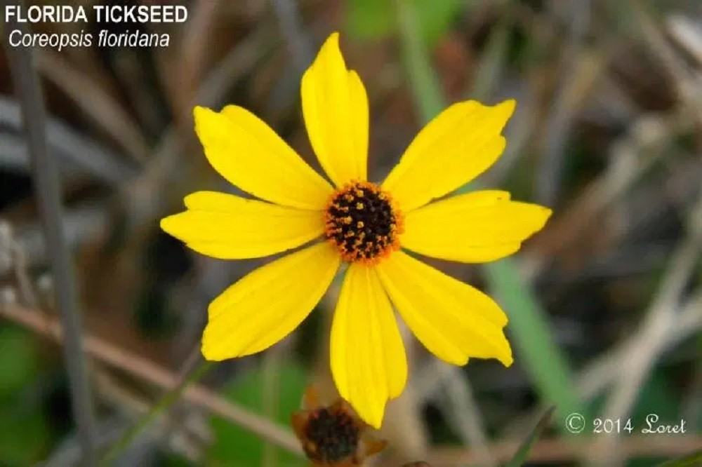 Coreopsis floridana (Florida tickseed)