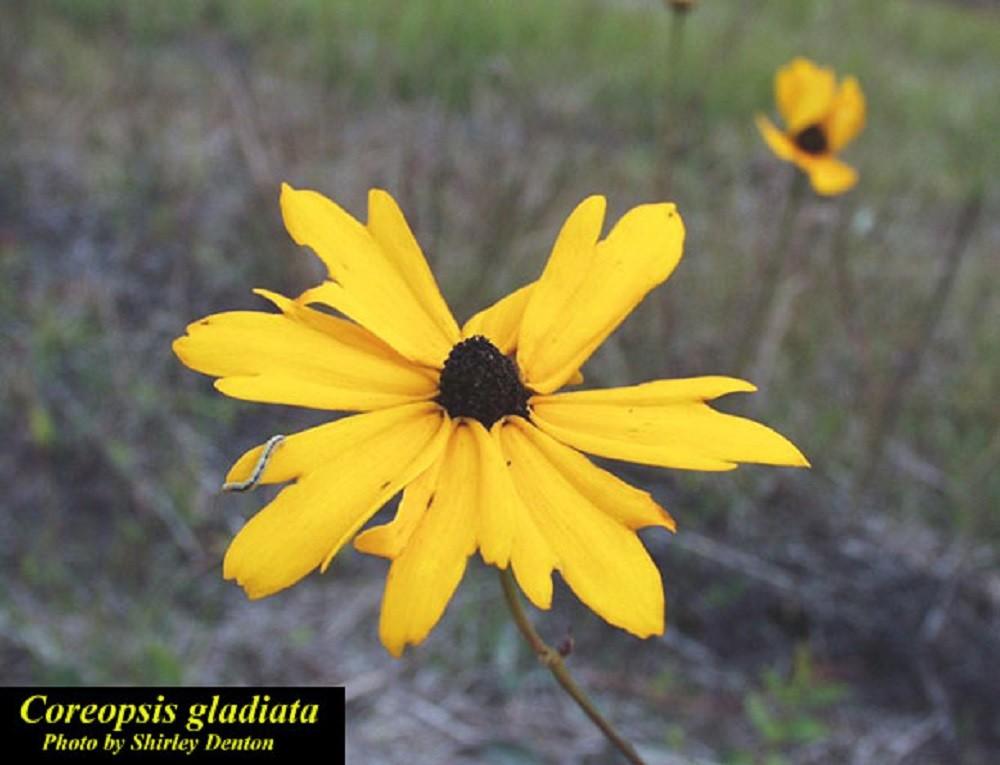 Coreopsis gladiata (Coastalplain tickseed)