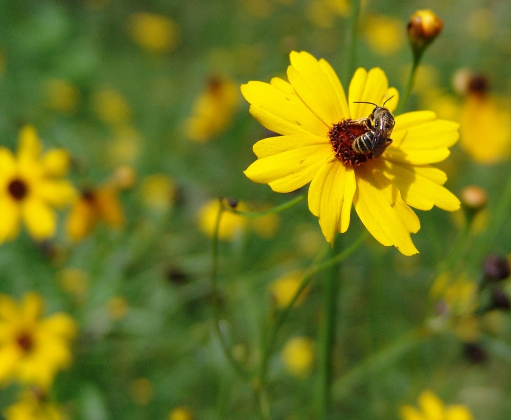 Coreopsis leavenworthii (Leavenworth's tickseed) and sweat bee