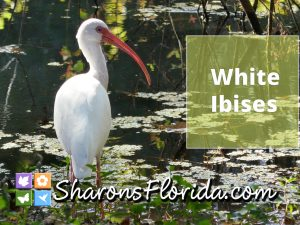 still shot of a video link to white ibises feeding and preening