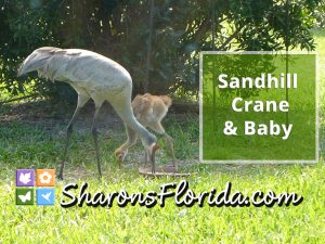 mother sandhill crane and baby eating at a bird feeder