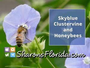 YouTube video link to skyblue clustervine and honeybees