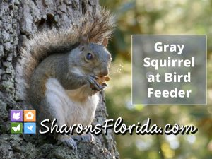 gray squirrel YouTube video link