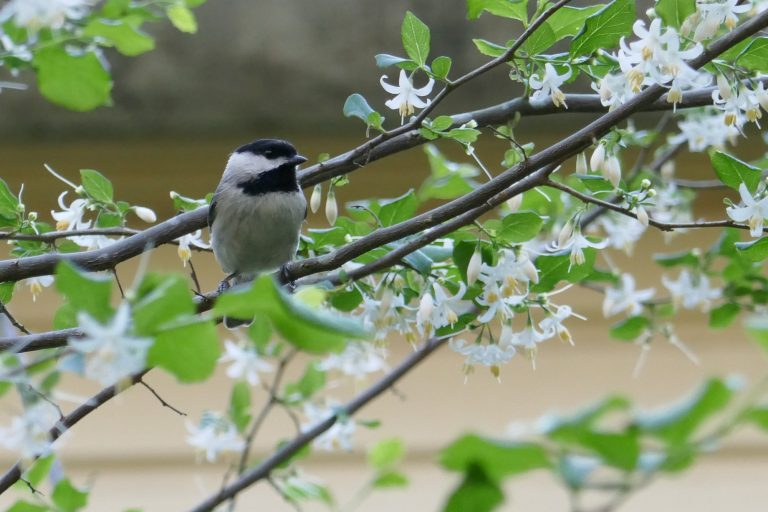 carolina chickadee perched in a snowbell tree
