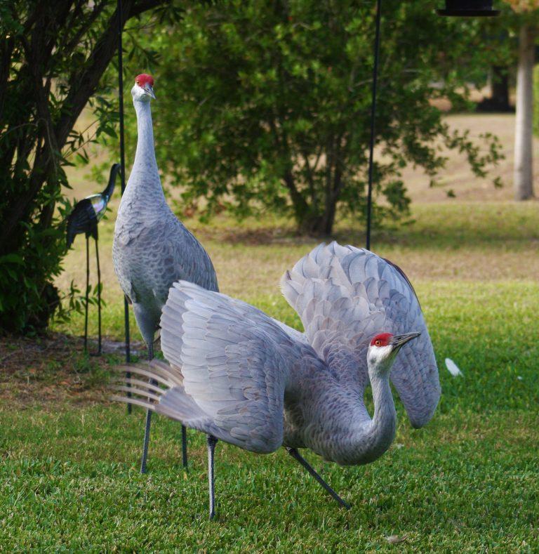 sandhill crane pair with one posturing