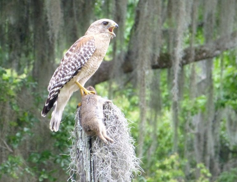 red shouldered hawk clutching a cottontail rabbit