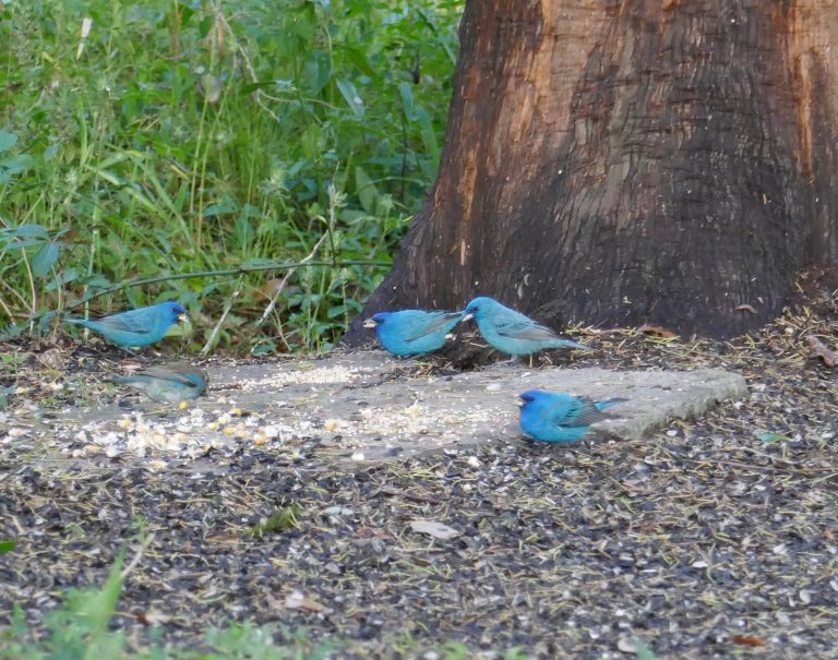 indigo buntings eating bird seed at a feeder
