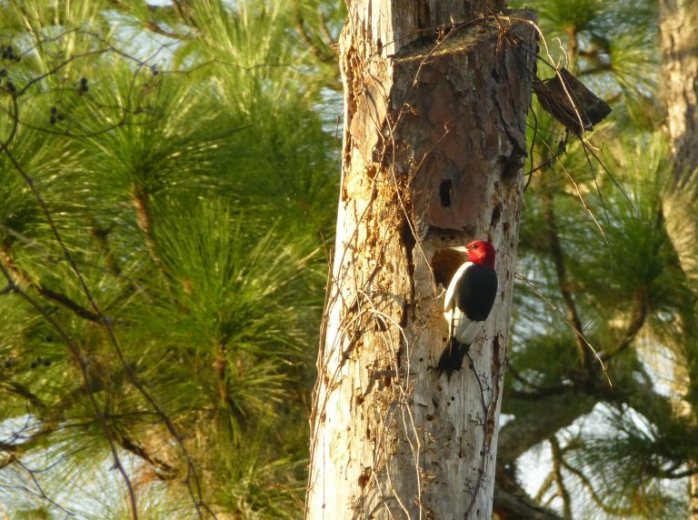 red headed woodpecker creating a nest cavity