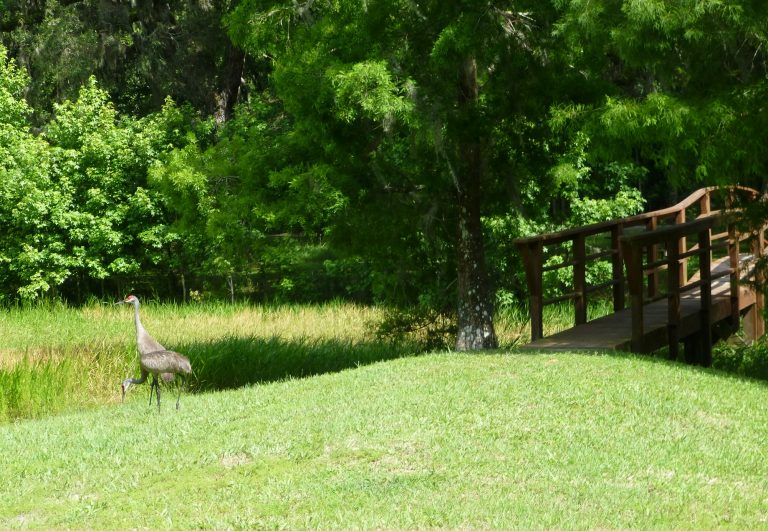 a pair of sandhill cranes at McKethan Lake Park in Brooksville Florida