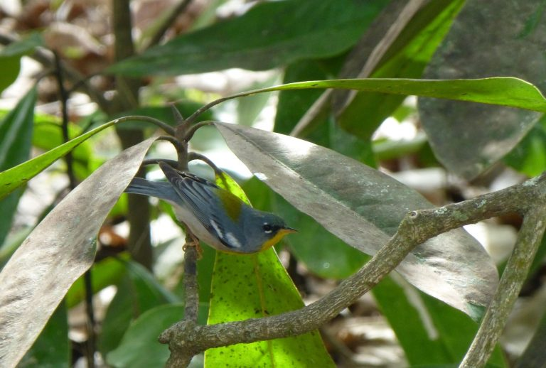 a northern parula searching for insects underneath magnolia leaves