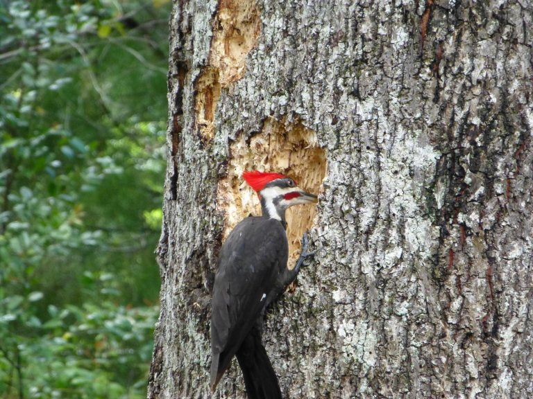 a pileated woodpecker producing wood chips while searching for food