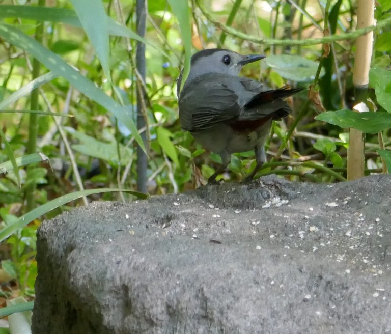 catbirds love berries and do a good job at seed dispersal