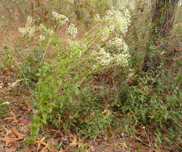 hammock snakeroot (Ageratina jucunda)