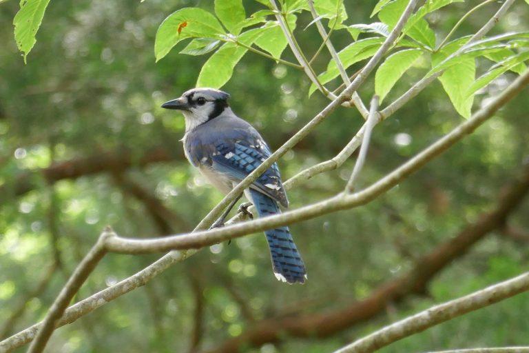 blue jay perched on a tree limb