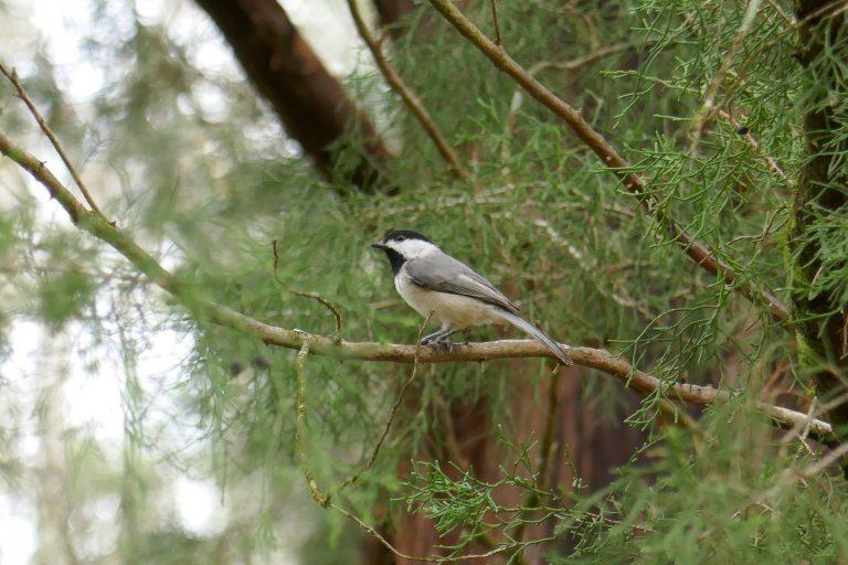 Carolina chickadee perched on a cedar limb