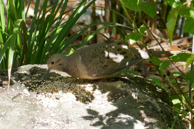 mourning dove eating seeds