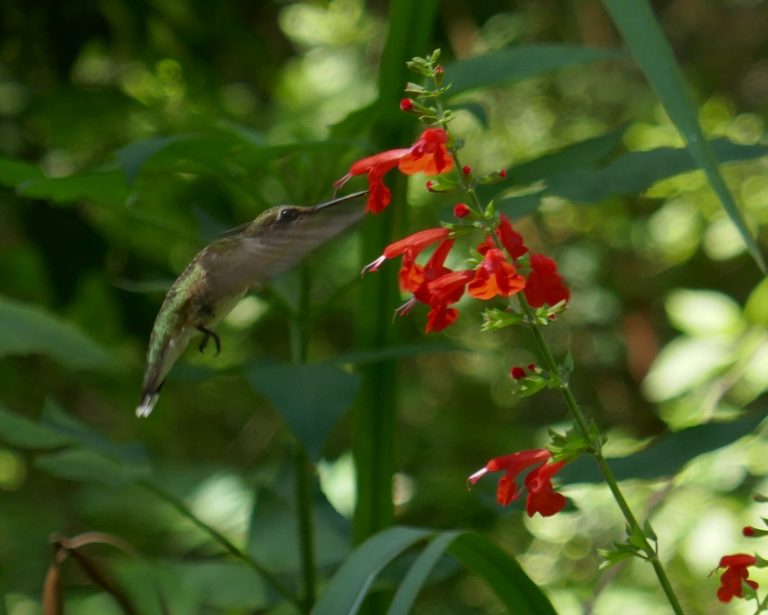 ruby-throated hummingbird drinking nectar from a red salvia flower