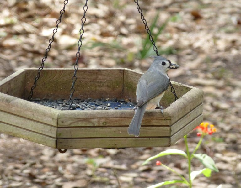 tufted titmouse at a bird feeder with a sunflower seed
