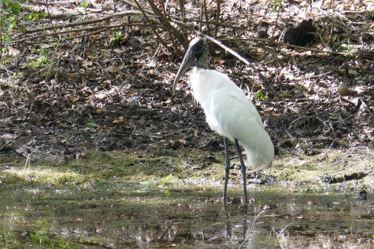 wood stork standing in a pond