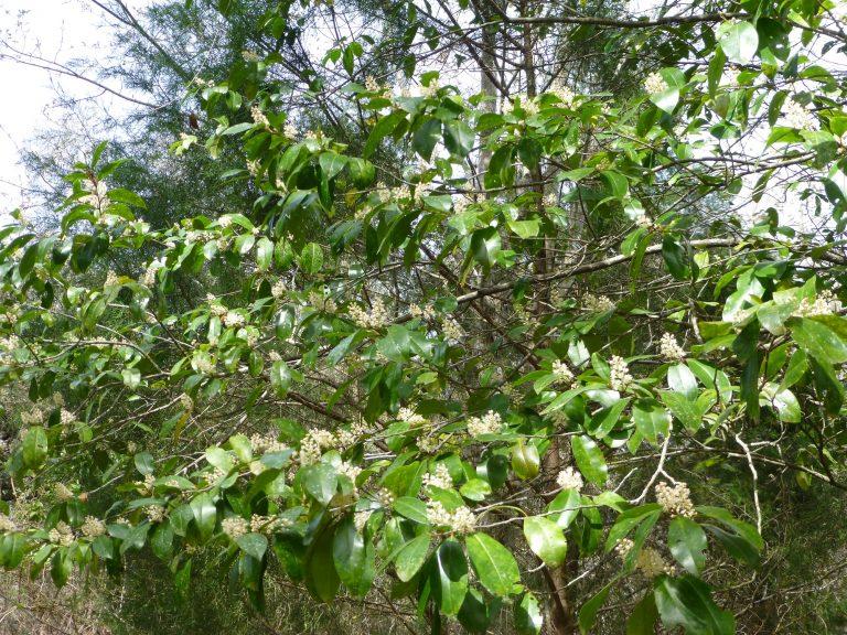Cherry Laurel (Prunus caroliniana)
