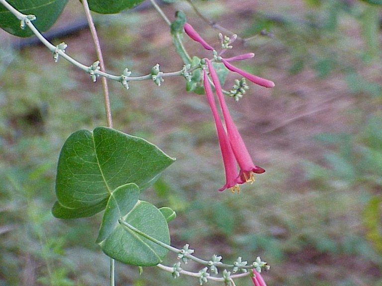 Coral Honeysuckle (Lonicera sempervirens)