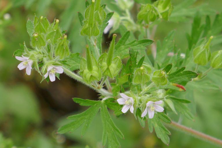Wild geranium (Geranium carolinianum)
