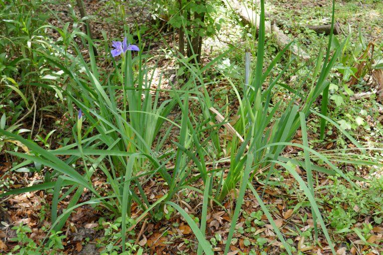 Blue Flag Iris (Iris virginica)