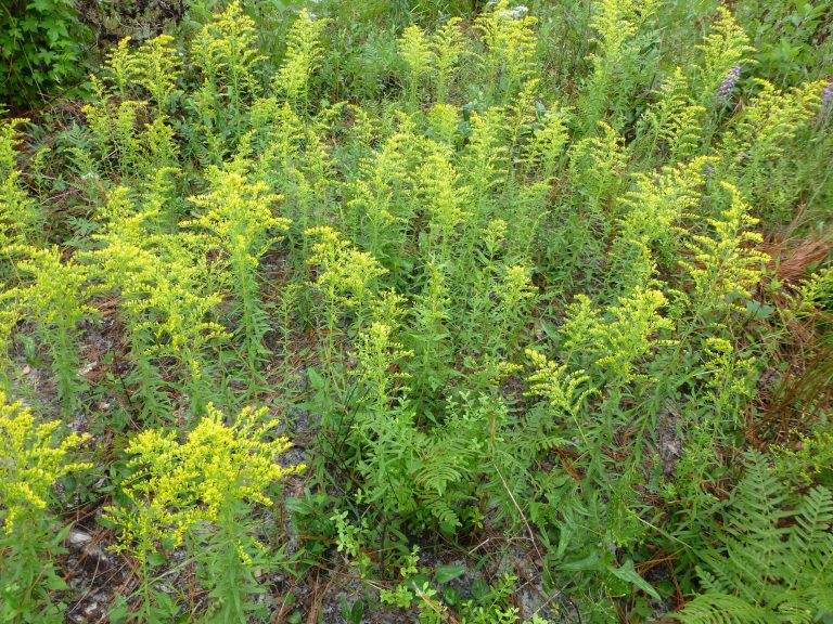 Pinebarren Goldenrod (Solidago fistulosa)