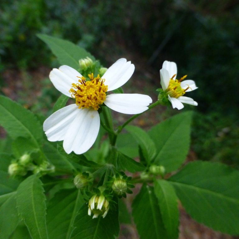 Spanish needles (Bidens alba)