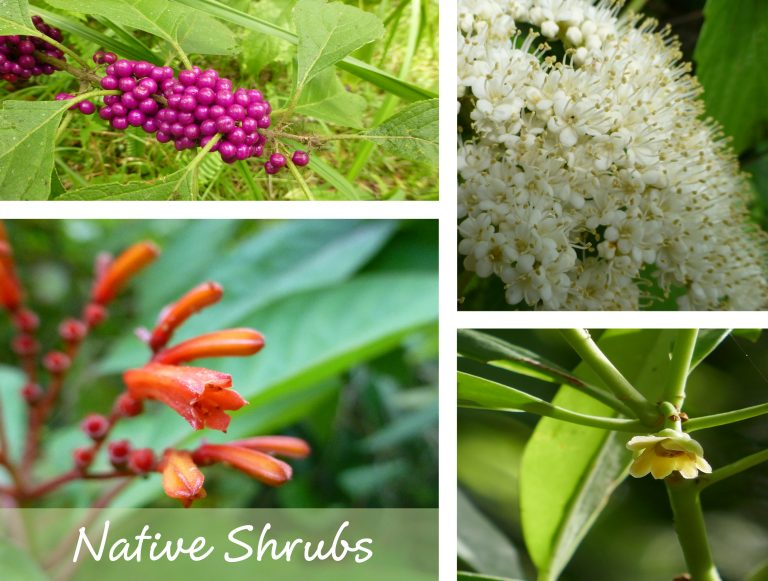 sharons florida native shrubs link box
