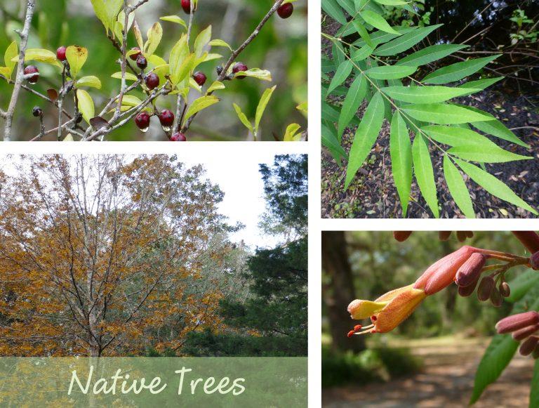 sharons florida native trees link box