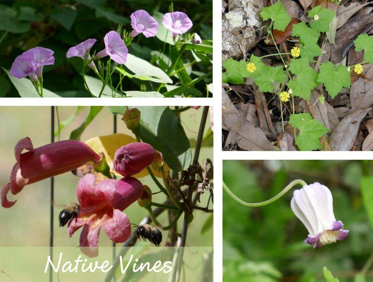 sharons florida native vines link box