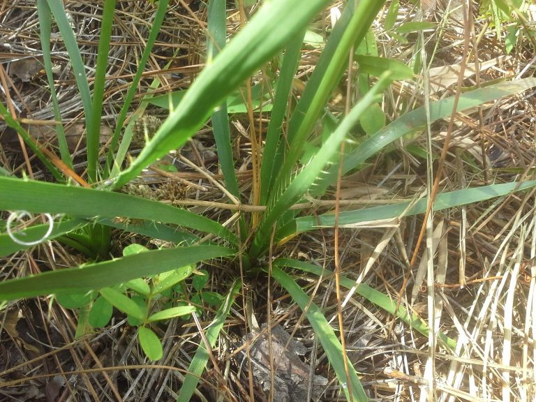 Button Rattlesnake-master (Eryngium yuccifolium) basal leaves