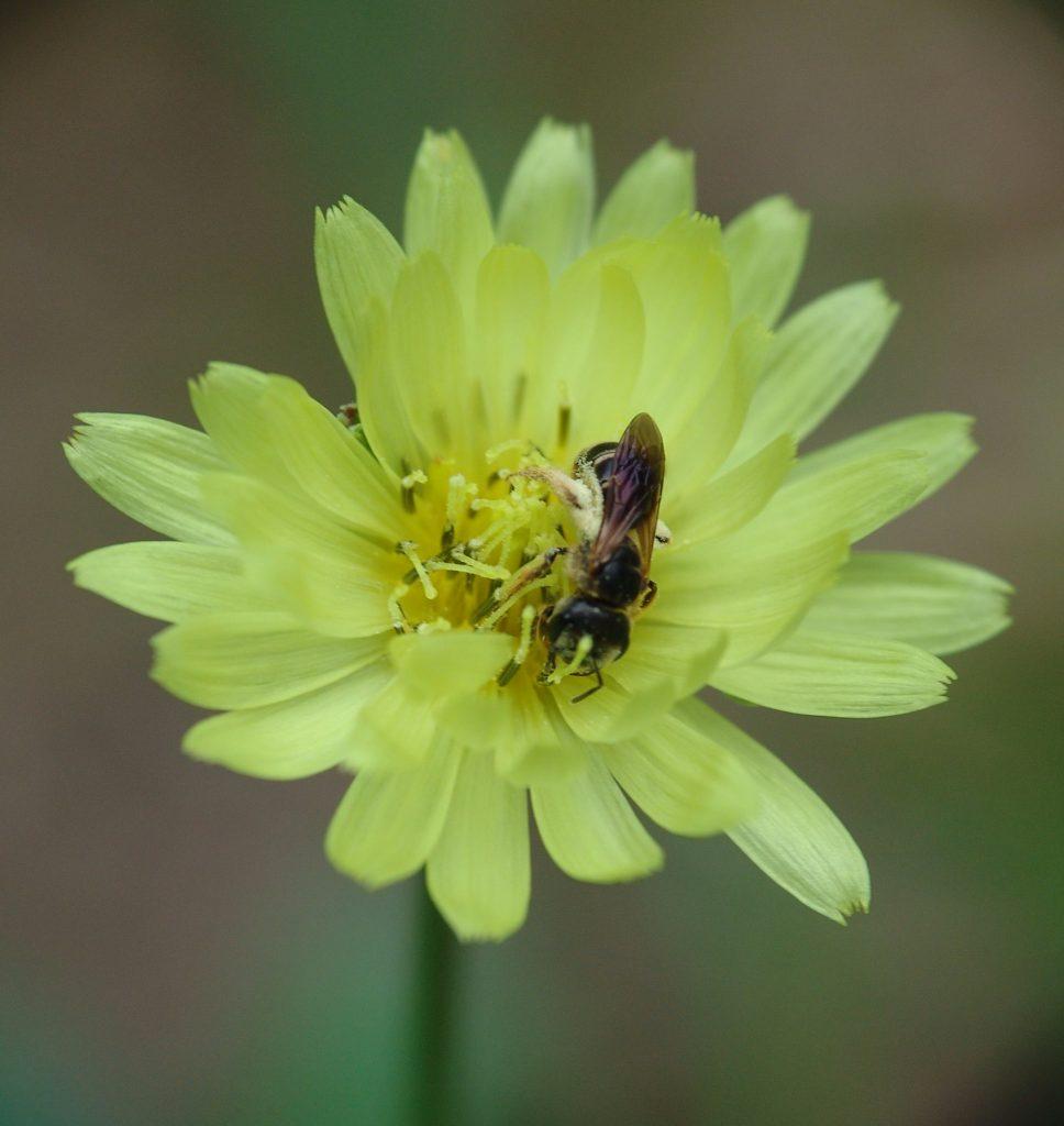 Carolina desert-chicory (Pyrrhopappus carolinianus) aka false dandelion flowers