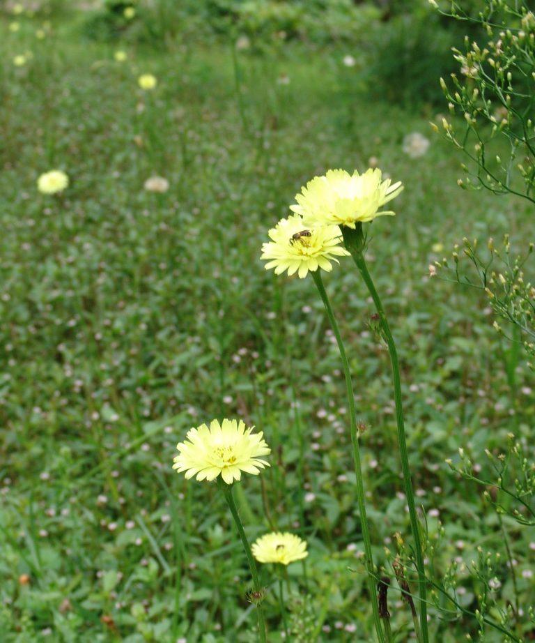 Carolina desert-chicory (Pyrrhopappus carolinianus) aka false dandelion flowers in a lawn