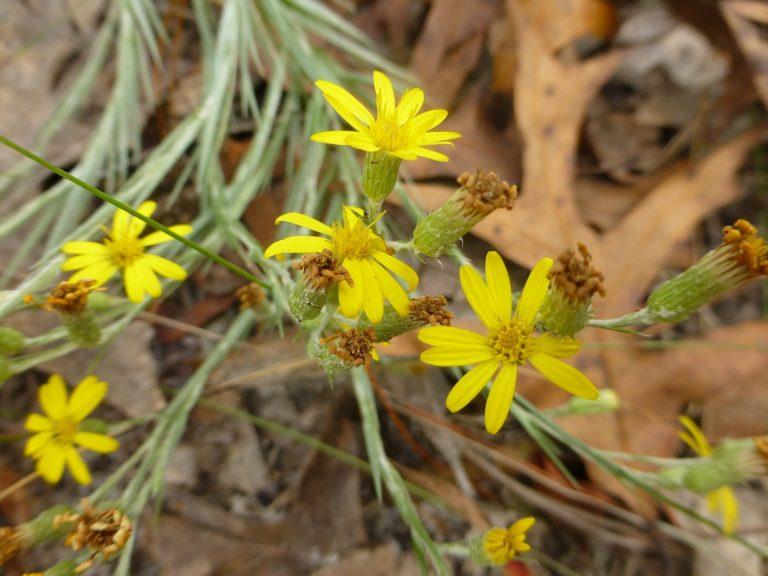 narrowleaf silkgrass (Pityopsis graminifolia) flowers