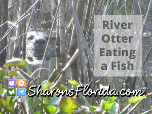 thumbnail of a YouTube video of a river otter (Lontra canadensis) eating a fish in central florida