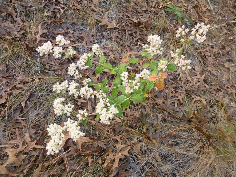 dogtongue wild buckwheat (Eriogonum tomentosum)