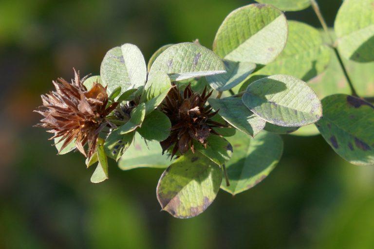 Hairy lespedeza (Lespedeza hirta) seed heads