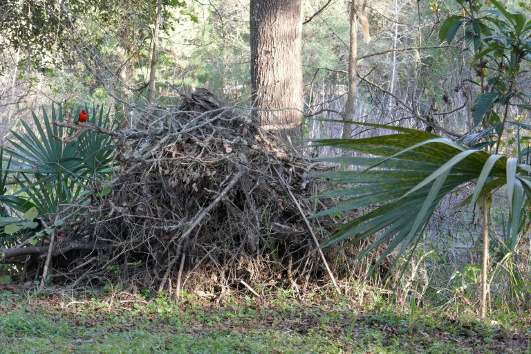 a brush pile with a northern cardinal songbird sitting on top of it