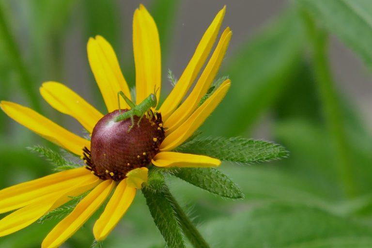 blackeyed susan flower (Rudbeckia hirta) with baby grasshopper