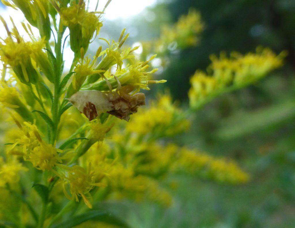 goldenrod flowers with ambush bug