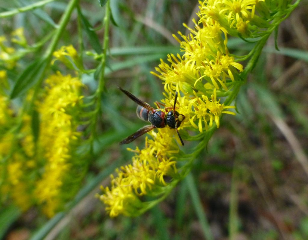 goldenrod flowers with black and red mason waspgoldenrod flowers with black and red mason wasp