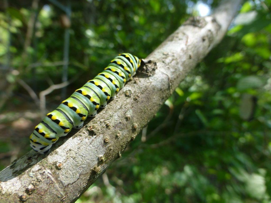 black swallowtail (Papilio polyxenes) caterpillar on a tree branch