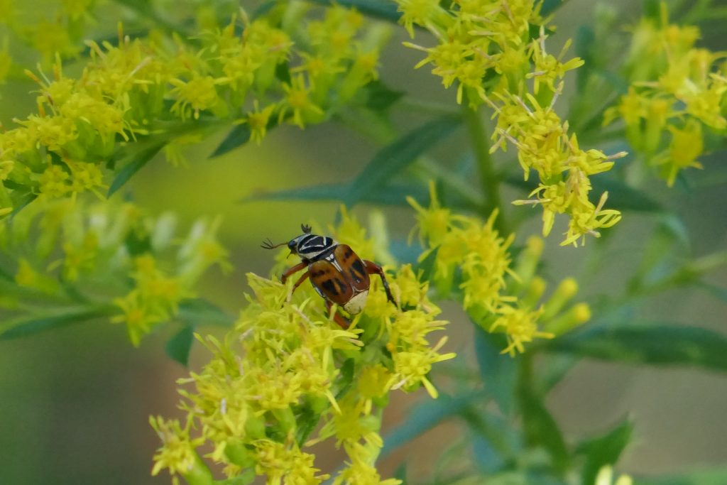 goldenrod flowers with delta flower scarab beetle