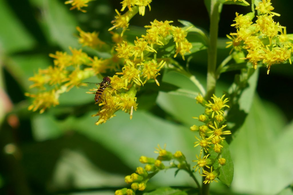 goldenrod flowers with flower fly