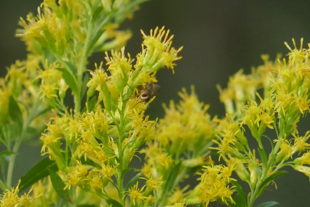 goldenrod flowers with fruit fly