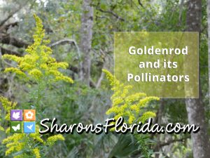 youtube video link for goldenrod and its pollinators