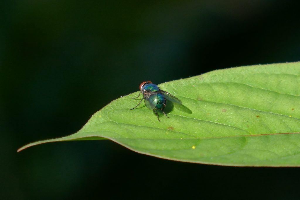 hairy maggot blow fly on a leaf near goldenrod flowers